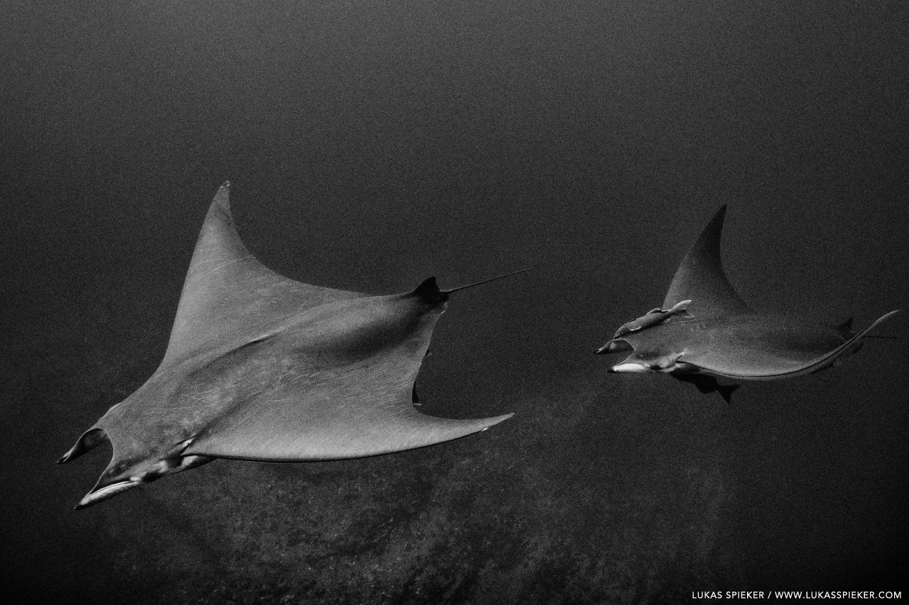 Devil rays (Mobula tarapacana) glide through the Atlantic at Princess Alice Bank, Azores. Princess Alice Bank is a volcanic seamount on the Mid-Atlantic Ridge rising from more than two thousand metres to a depth of around 40 metres below the ocean surface.