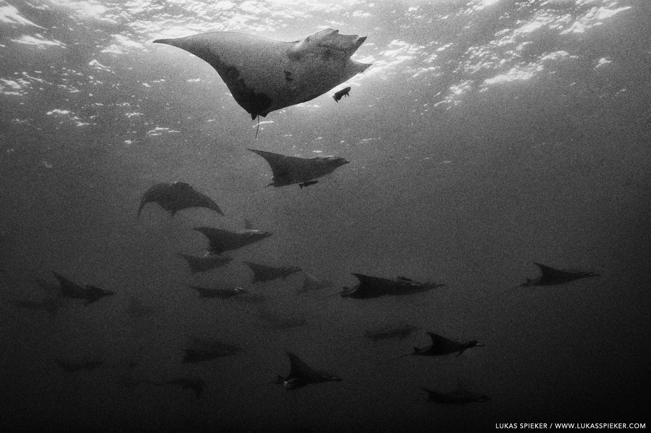 Devil ray (Mobula tarapacana) glide through the Atlantic at Princess Alice Bank, Azores. The ascending deep sea ocean current carries food. Moreover, site seems to be a place for social interactions and mating.
