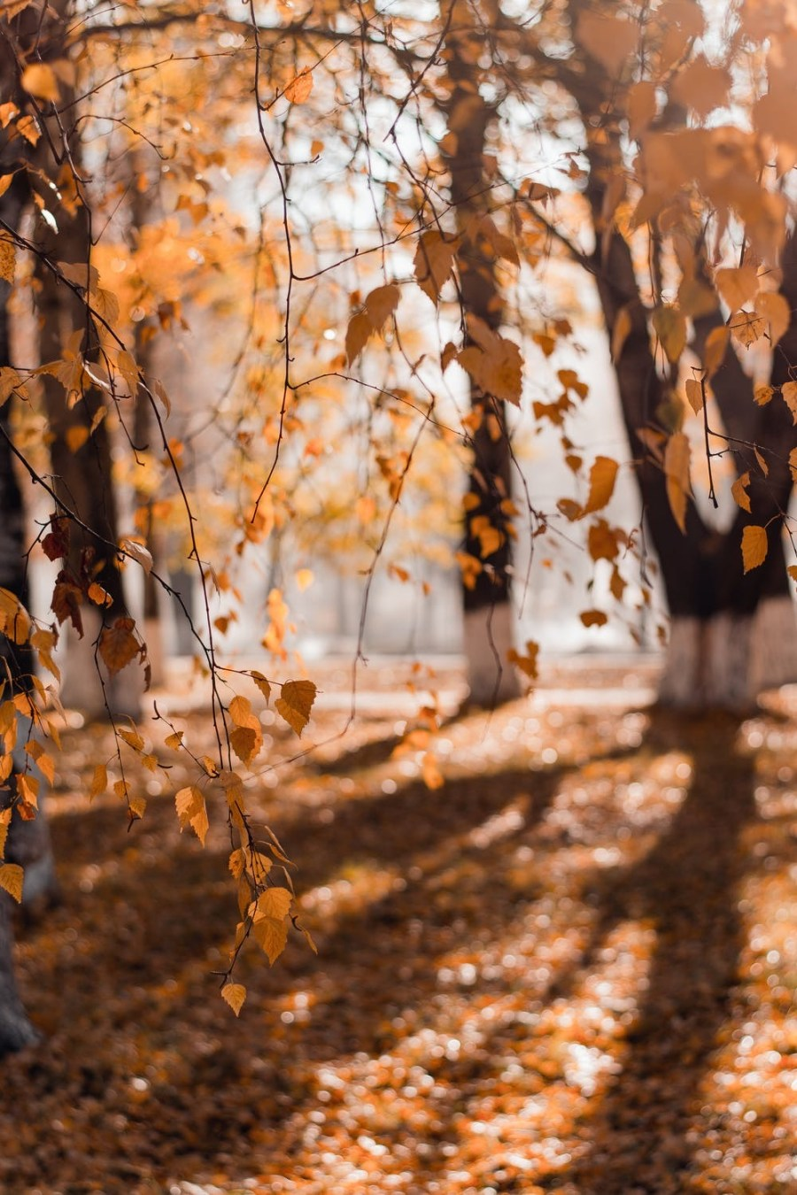 A forest full of tall trees covered in some golden brown leaves, on a white background.