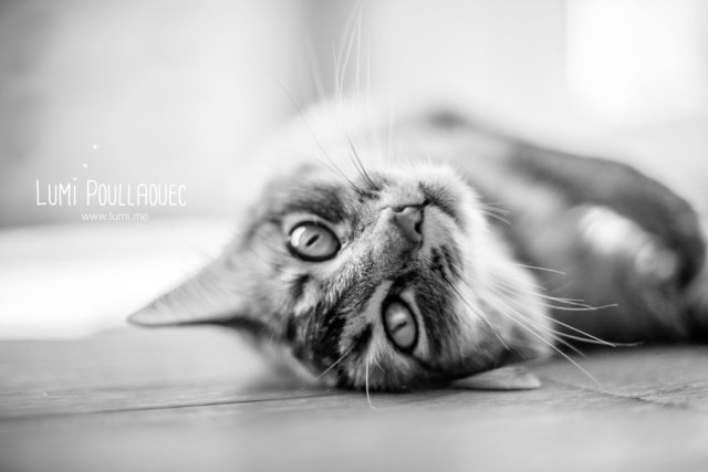 Photographie de chat tout mignon chaton Somali race