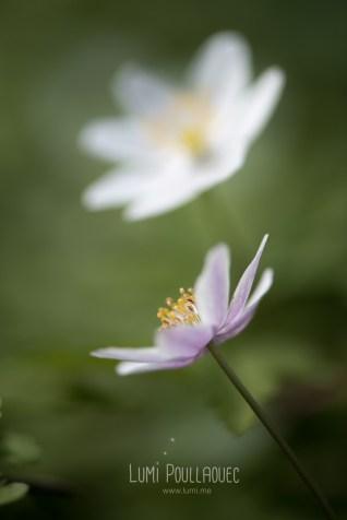 fleur-blanche-des-bois-2