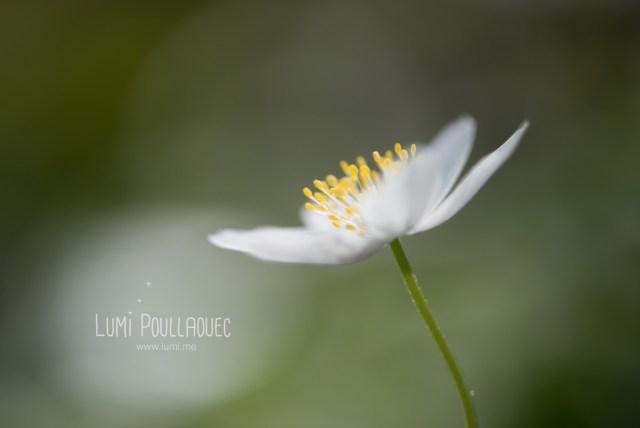 fleur-blanche-des-bois