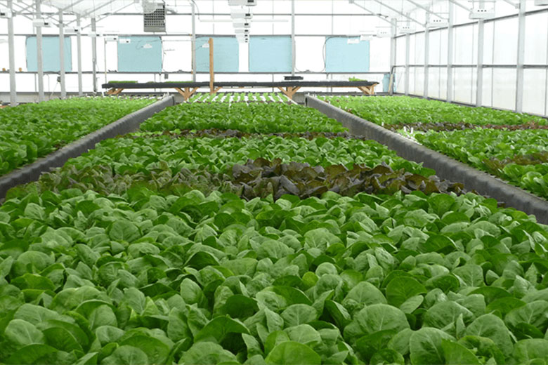 Clean Fresh Food inside greenhouse