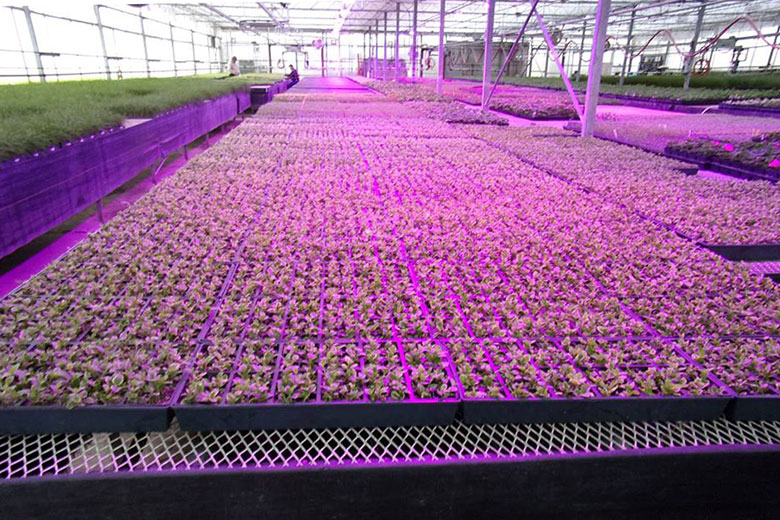 Barnes Greenhouses Begonia Cuttings under Pink LED grow lights