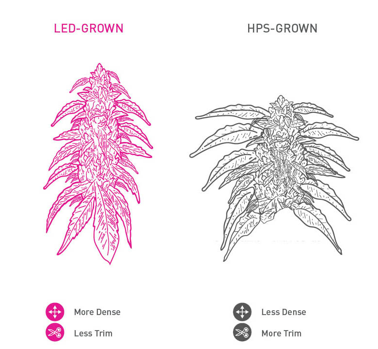 Stylized LED-grown cannabis bud and HPS-grown cannabis bud
