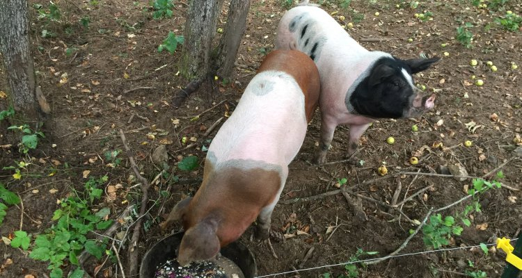Pigs eating on Pasture