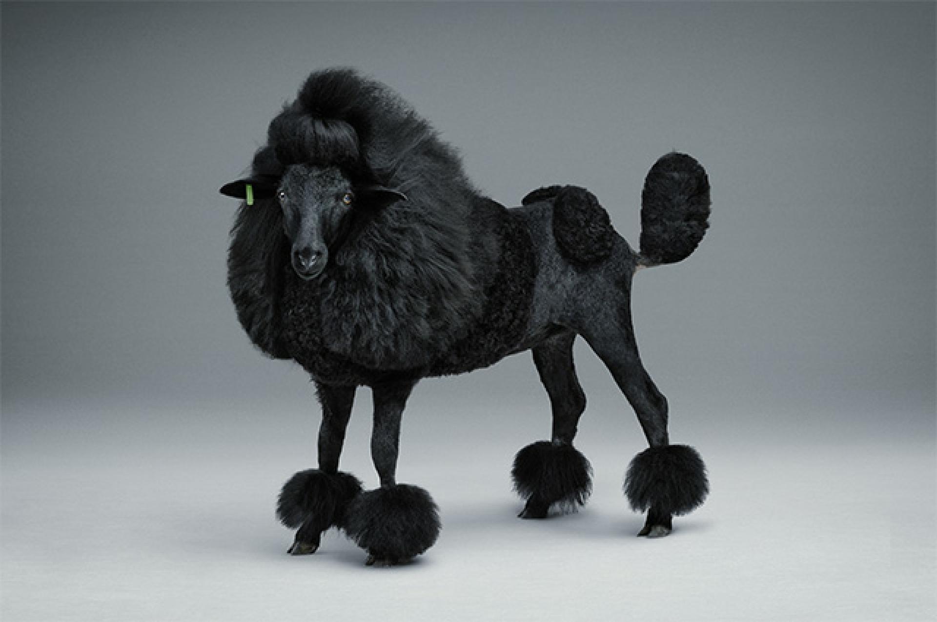 Schwarzes Schaf  Lumpi4de  Hundemagazin