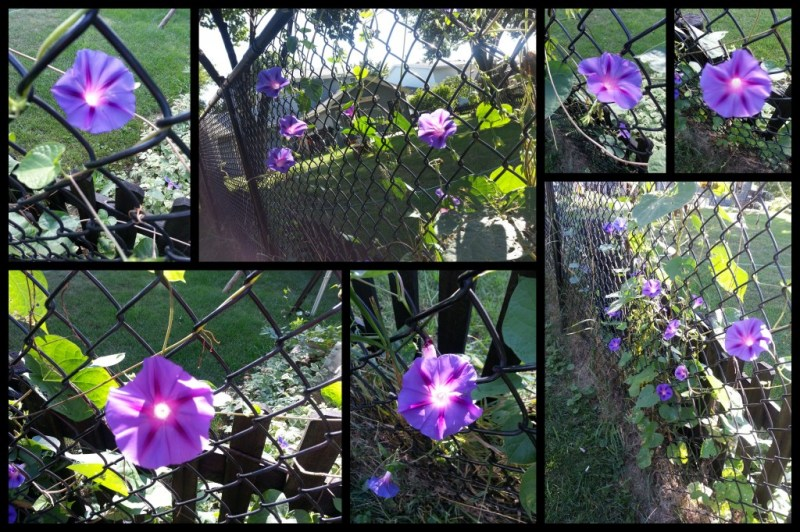My Morning Glories