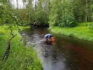 Metsähallituksella on iso rooli jokihelmisimpukan suojelutyössä – raakun suojelun strategia valmistui