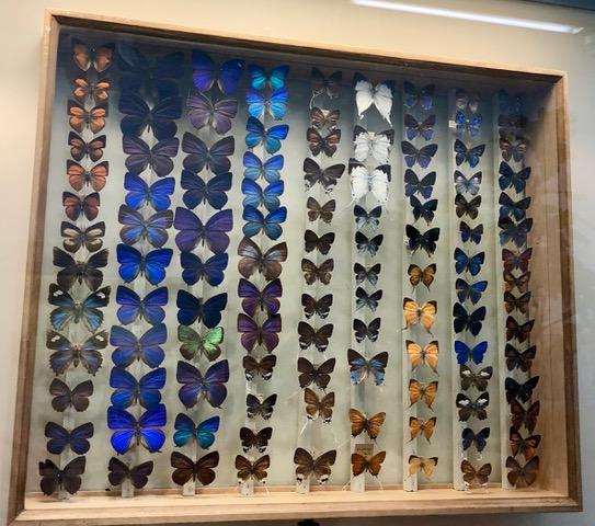 Schmetterlinge im Zoologischen Museum Kiel
