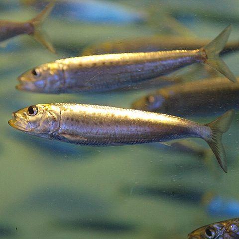 480px-Sardinops_melanostictus