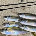 【デイアジング】離島のベイトパターン満喫!釣り場に1本だけ持っていくならコレ!な、オリムピックのアジングロッドも紹介