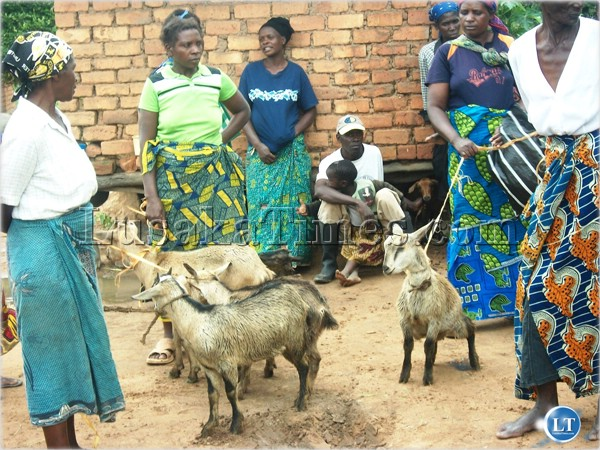 Some women of Munagaba area in Choma sharing goats which were given to them by the government for poverty eradication