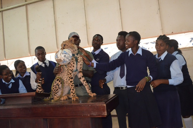 Livingstone's Linda High School pupils play with a cheetah brough to their school by Mukuni Big 5 Safaris