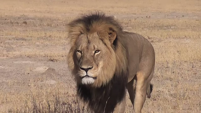Photo of Cecil the Lion before his death.Source: Wikipedia