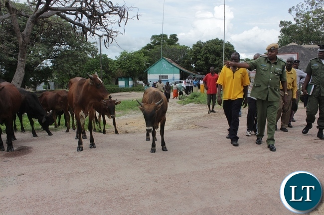 Western Province Police Commissioner Charles Lungu (r) showing some of the 14 recovered cattle after a police operation in Limulunga District yesterday. The animals were stolen last October from Mr. Mubita Liyali of Kakula Village and found at Mr. Muyunda Manima's crawl of Kalale area and five suspects are I custody while two are still at large.