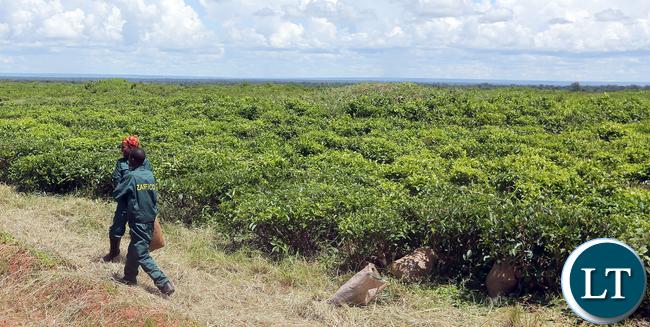 Kawambwa Tea Plantation
