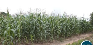 Part of the 6 acre maize field that has recovered after spraying