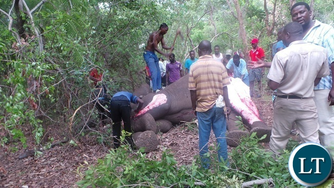 Members of the community skinning the elephant after officers from the department of national parks and wildlife gunned it down. Picture by KELVIN MUDENDA