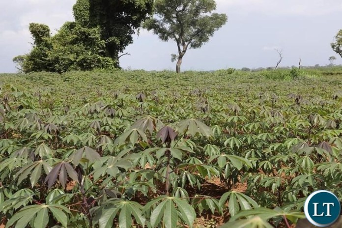 Cassava Farms for the bioenergy refinery plant