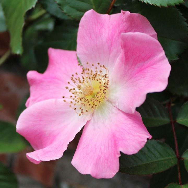 'Sparrieshoop' Rose