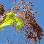 Sorghum - Broom Corn
