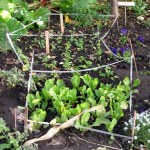 Winter Edible Garden