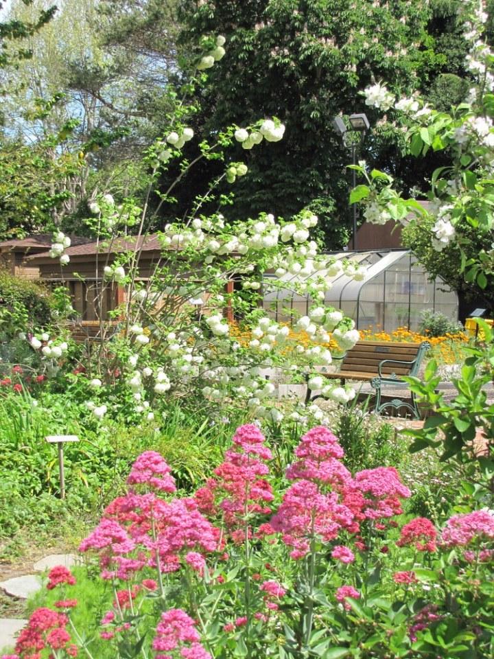 Jupiter's Beard, Japanese Snowball Bush & Small Greenhouse