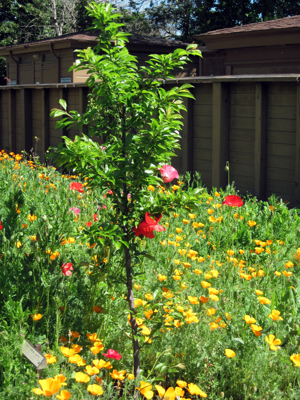 New Orchard with Poppies
