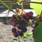 Christmas Grape