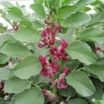 Red Flowered Fava Beans