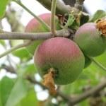 Winterstein Apple