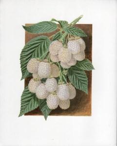 Fruit Print - White Blackberry