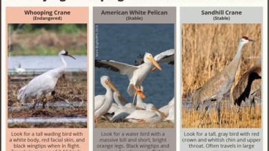 Photo of Endangered Cranes To Move Through Oklahoma