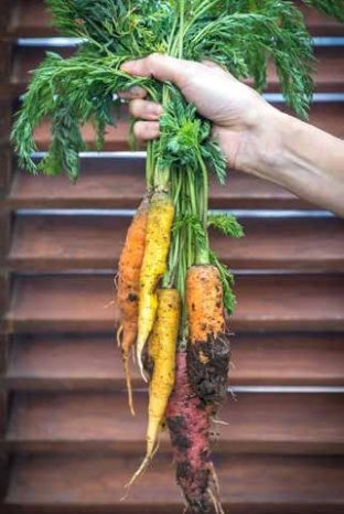 Carrots from the Sequel Greenhouse