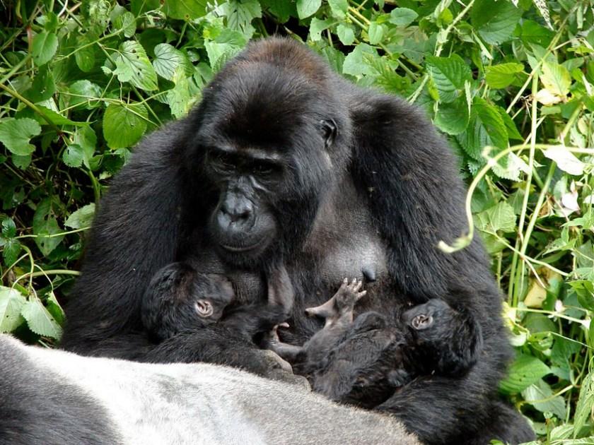 Clouds Mountain Gorilla Lodge Uganda 2
