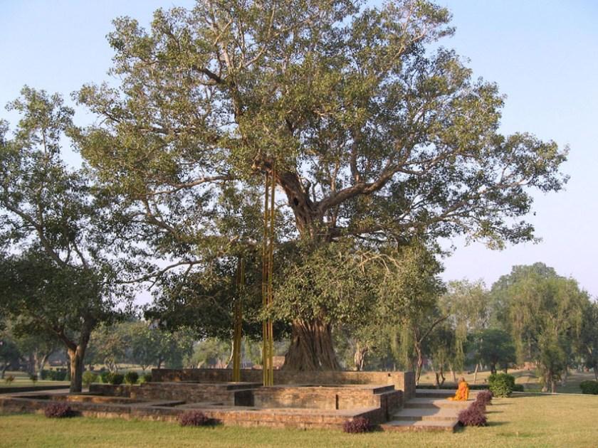 Bodhi Tree at Bodhgaya 1