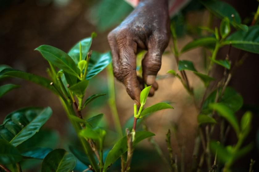 Explore tea trails Sri Lanka 1
