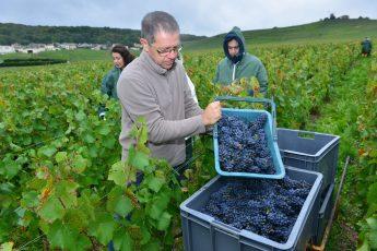 Vendanges Veuve Clicquot - photo Michel Jolyot (106)
