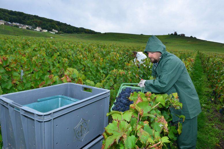 Vendanges Veuve Clicquot - photo Michel Jolyot (137)