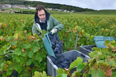 Vendanges Veuve Clicquot - photo Michel Jolyot (153)