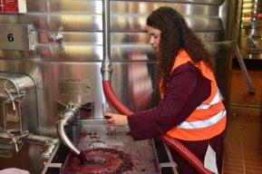 Vendanges Veuve Clicquot - photo Michel Jolyot (321)