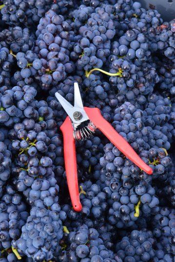 Vendanges Veuve Clicquot - photo Michel Jolyot (75)