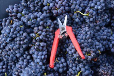 Vendanges Veuve Clicquot - photo Michel Jolyot (77)