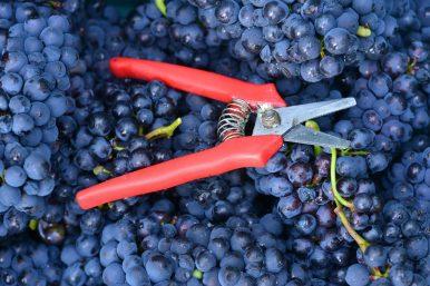 Vendanges Veuve Clicquot - photo Michel Jolyot (79)