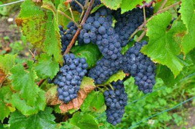 Vendanges Veuve Clicquot - photo Michel Jolyot (85)