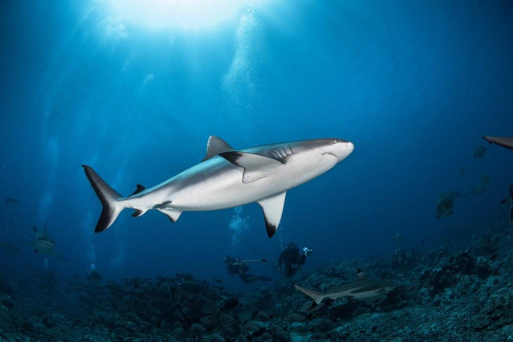 Blacktip reef sharks around the Islands of Tahiti