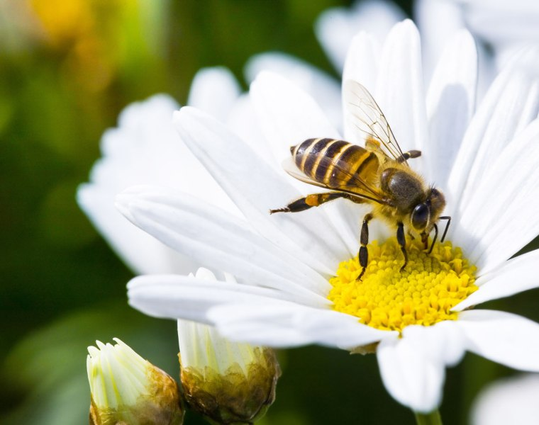 Attract bees by planting flowers rich in nectar and pollen