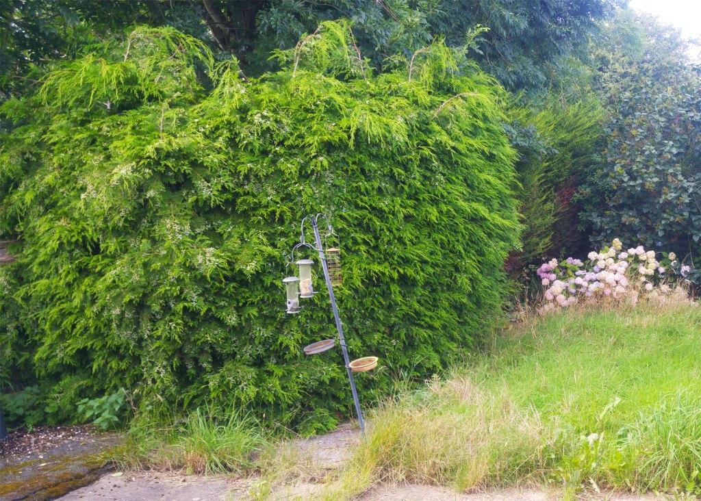 Fir Tree pruning