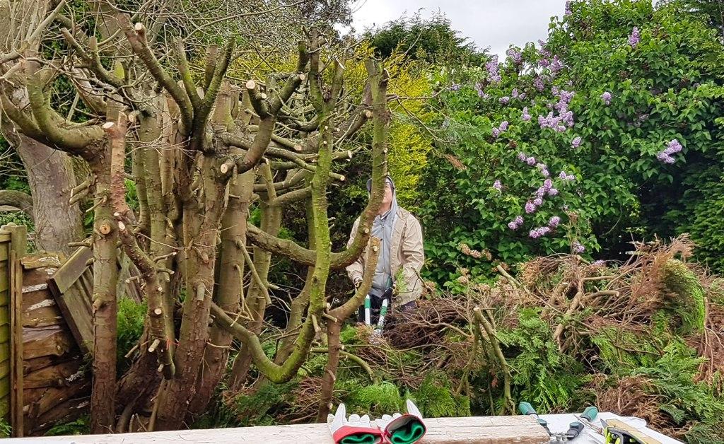 Pruning a fir tree